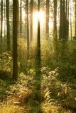 Summer forest in the early morning Stock Image