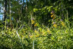 Summer forest flowers of cow-wheat Melampyrum nemorosum. Picturesque peaceful nook away from the urban noise and hustle. Rich colors of nature inspire for the royalty free stock image