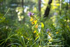 Summer forest flowers of cow-wheat Melampyrum nemorosum. Picturesque peaceful nook away from the urban noise and hustle. Rich colors of nature inspire for the stock image