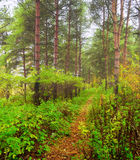 Summer forest in the fog - summer forest landscape Royalty Free Stock Image