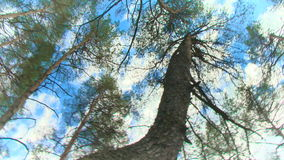 Summer forest with green pine tops in blue sky stock footage