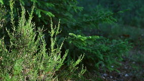 Summer forest heather and pine branches swaying in the wind. In summer forest heather and pine branches swaying in the wind stock video