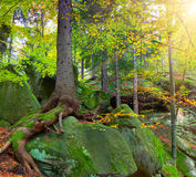 Summer forest with huge tree Royalty Free Stock Photos