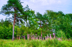 Summer forest landscape in cloudy weather - green pine trees under dramatic sky and pink willow-herb on the foreground. Royalty Free Stock Photo