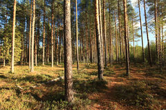 Summer forest landscape russia pinewood Stock Image