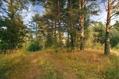 Summer forest landscape russia pinewood Stock Images