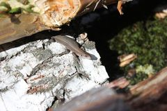 Lizard on a birch stump royalty free stock image