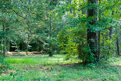Summer Forest Royalty Free Stock Image