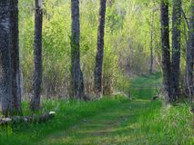 Summer forest in Minnesota Stock Photo