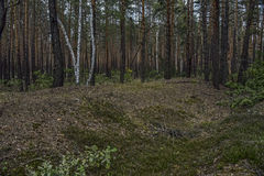 Summer Forest. And a mound of the former railway, narrow-gauge railways Royalty Free Stock Images