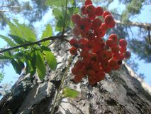 Summer forest. the mountain ash is red stock photography