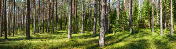 Summer forest panorama Stock Photos