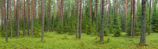 Summer forest panorama Royalty Free Stock Images