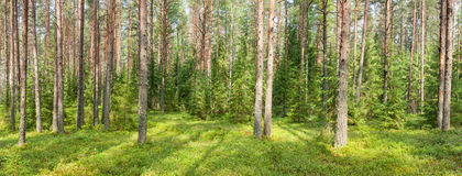 Summer forest panorama Stock Images