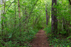Summer forest and path Royalty Free Stock Photo