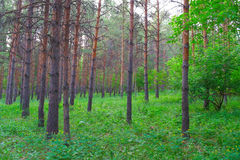 In summer forest with pines Royalty Free Stock Image