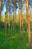 In summer forest with pines Stock Photography