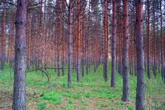 In summer forest with pines Royalty Free Stock Photography