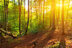 Summer forest in a rays of  sun Royalty Free Stock Image