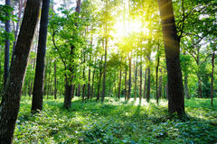 Summer forest, sun Royalty Free Stock Photo