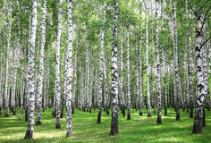 Summer forest in sunny weather. Beautiful summer forest in sunny weather stock photography