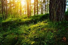 Summer forest undergrowth vegetation. Grass, shrubs and moss growing in pinewood understory or underbrush backlit by the sun. Selective focus. Pomerania royalty free stock images
