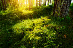 Summer forest undergrowth vegetation. Grass, shrubs and moss growing in pinewood understory or underbrush backlit by the sun. Royalty Free Stock Images