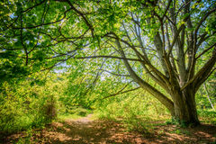 Summer Forest Woods, Lane, Path, Pathway. Nature Royalty Free Stock Images