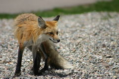 Summer Fox. Red Fox in Vail, Colorado.  Picture taken from top of Gondola from the Restaurant Stock Image