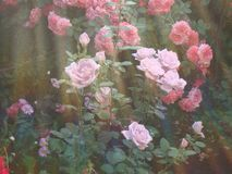 Summer and the fragrance of roses. Royalty Free Stock Photo