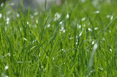 Summer fresh bright green grass. Spring background with a green lawn for design, wallpaper, desktop. Macro of green grass. In a defocus at a close distance royalty free stock images