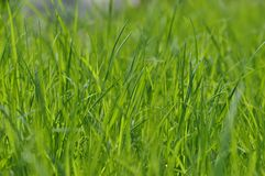 Summer fresh bright green grass. Spring background with a green lawn for design, wallpaper, desktop. Macro of green grass stock photography