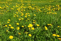 Summer grass field with blossom dandelion. Summer fresh grass field with blossom dandelion royalty free stock photography