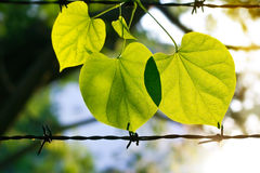 Summer fresh green leaves on the barbed wire in sunshine nature background Royalty Free Stock Image