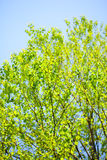 Summer fresh green leaves Royalty Free Stock Image