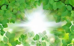 Summer fresh leaf green leaves with sun rays Stock Images