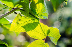 Summer fruits leaves Stock Images
