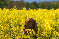 Summer Fun. Cocke Spaniel Puppy playing hide and seek in Canola Fied stock photo