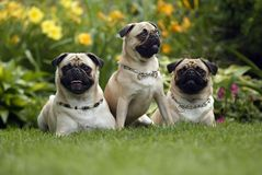 Summer Fun. Three Pugs sitting together against beautiful garden background Royalty Free Stock Images