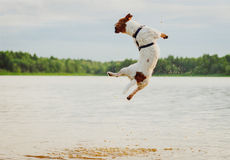 Summer fun at beach with dog jumping high in water. Jack Russell Terrier from back bouncing in water Royalty Free Stock Photography