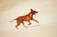 Rhodesian Ridgeback dog running Stock Images
