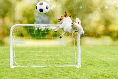 Jumping dog catching football soccer ball playing at playground with mini goal Royalty Free Stock Photo