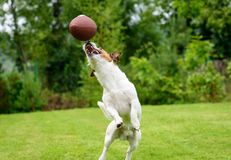 Funny dog catching Rugby ball at backyard lawn. Summer fun with pet dog at back yard royalty free stock photography
