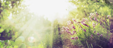 Summer Garden Background With Lavender And Sun Rays , Banner For Website Stock Image