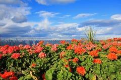 Summer garden with blooming red geranium stock photo