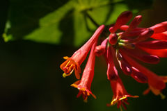 Summer garden. The blossoming honeysuckle. Stock Photography