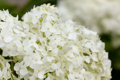 Summer garden. The blossoming hydrangea. Royalty Free Stock Photography