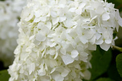 Summer garden. The blossoming hydrangea. Royalty Free Stock Photos