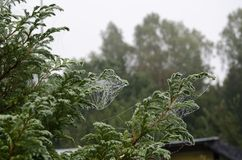 Small, white spider web on the green tree. Summer garden. We can see on the picture small, white spider web on the green tree. the twigs are tangled in spider Stock Photo
