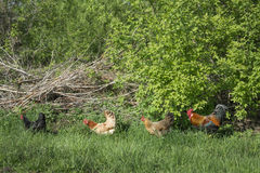 Summer in the garden with chicken rooster walking in the grass. Royalty Free Stock Photos